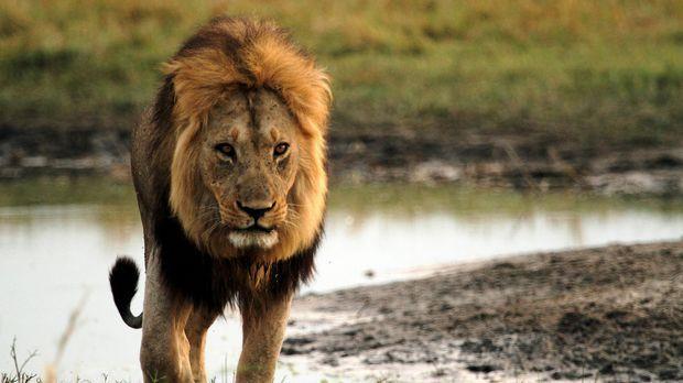 Ein Löwen-Männchen patrouilliert an den Wasserlöchern in der Kalahari. Währen...