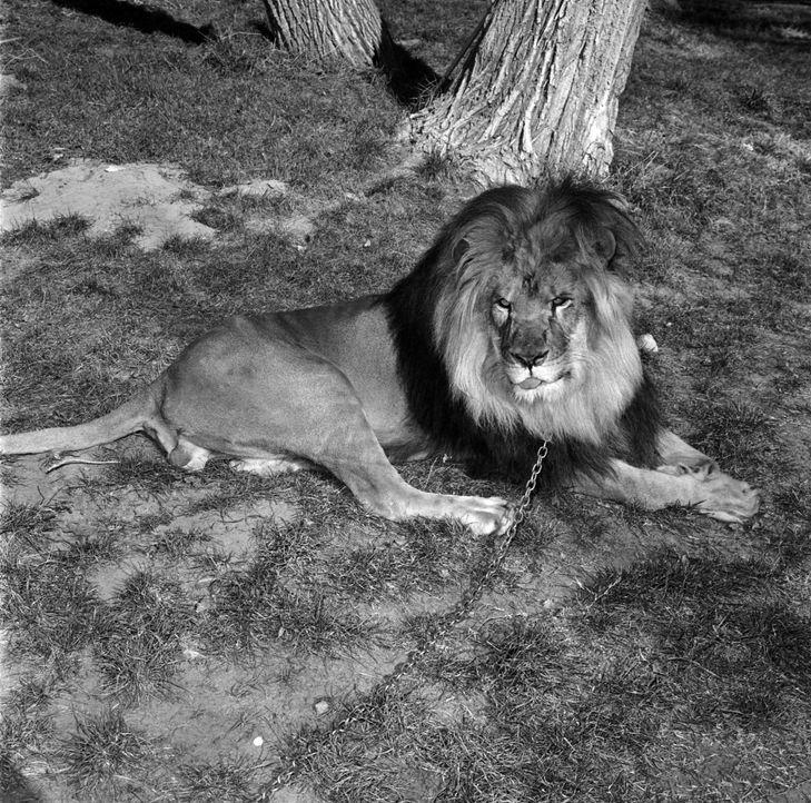 Immer wieder im Mittelpunkt des Geschehens: Clarence, der schielende Löwe ... - Bildquelle: 2007 Warner Brothers