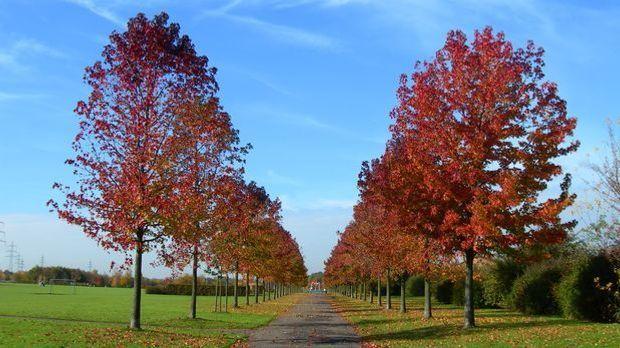 Im Herbst zeigt der Amberbaum seine Schönheit in voller Pracht.
