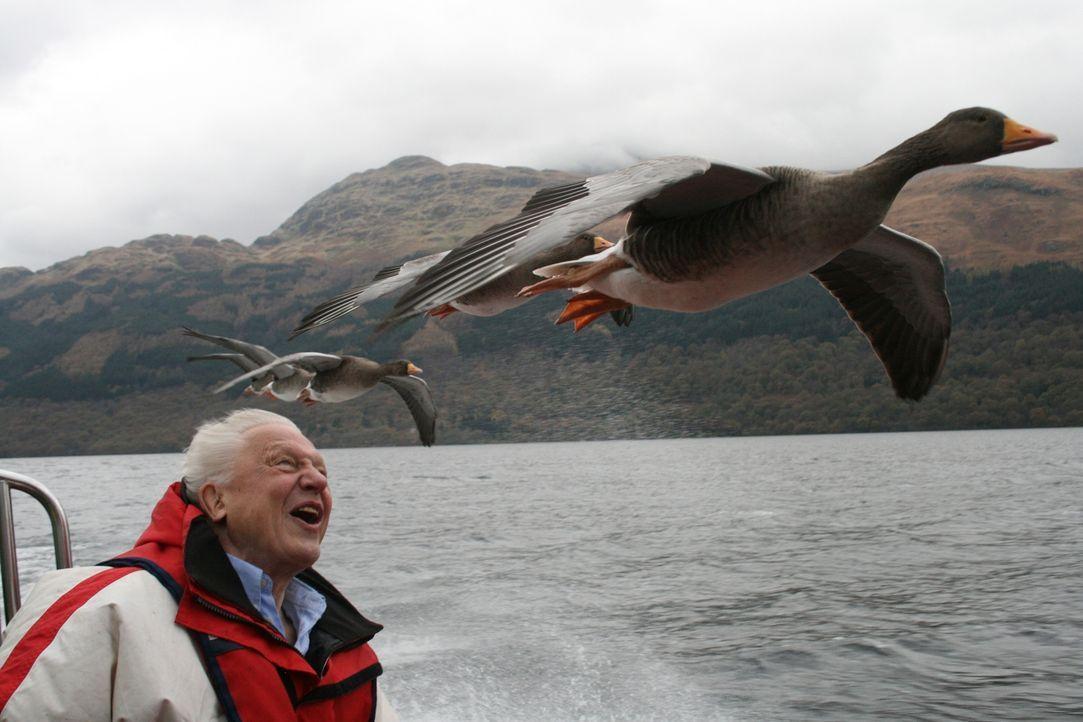 Gans schön spannend: Sir David Attenborough begibt sich in Schottland auf die Spuren der Gänse- und Verhaltensforschung von Konrad Lorenz. - Bildquelle: Miles Barton Miles Barton