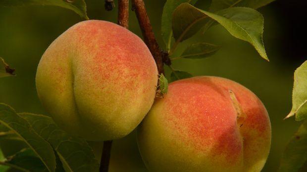Pfirsichbaum schneiden anleitung und tipps sat 1 ratgeber - Pfirsichbaum im garten ...