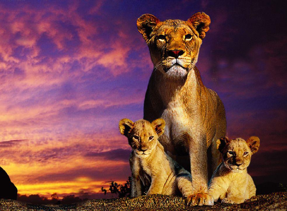 In der afrikanischen Savanne zieht die Löwenmutter Macheeba (M.) ihre beiden Löwenkinder Suki (l.) und Linus (r.) mit strengen, unnachgiebigen Ver... - Bildquelle: John Downer John Downer Productions Ltd