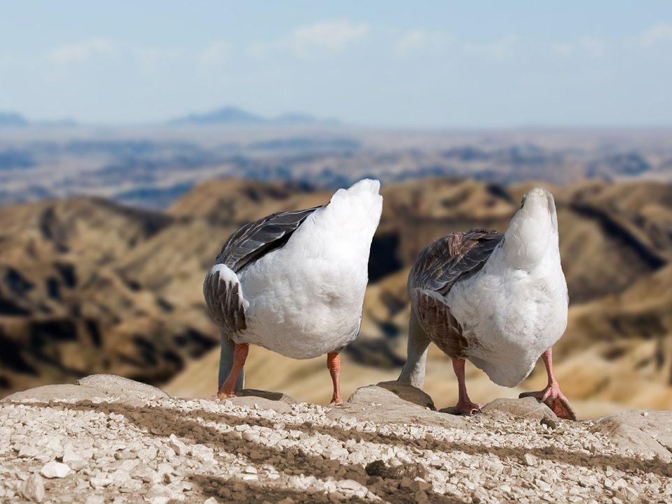 geese-540663_1280 - Bildquelle: Pixabay