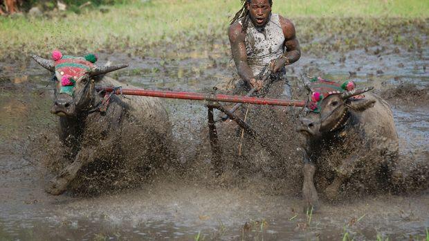 In Pemlong auf der indonesischen Insel Sumbawa steht ein Wasserbüffelrennen a...