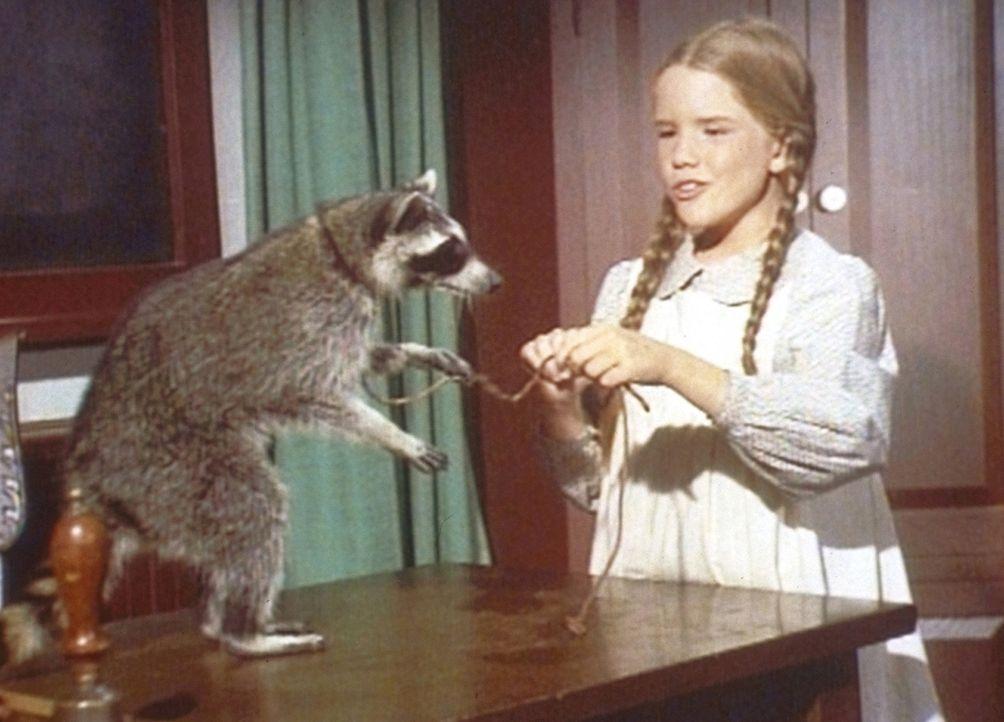 Laura (Melissa Gilbert) versucht, ihrem Waschbären Kunststücke beizubringen. - Bildquelle: Worldvision