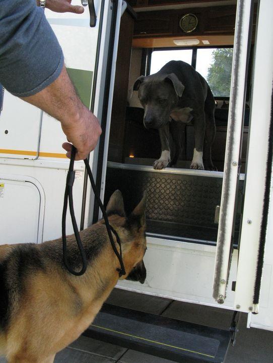 Cesar Millan betreut heute zwei Personen, die sich im Internet kennengelernt haben. Sie haben Angst, dass sich ihre Hunde nicht vertragen und dadurc... - Bildquelle: Neal Tyler MPH - Emery/Sumner Joint Venture