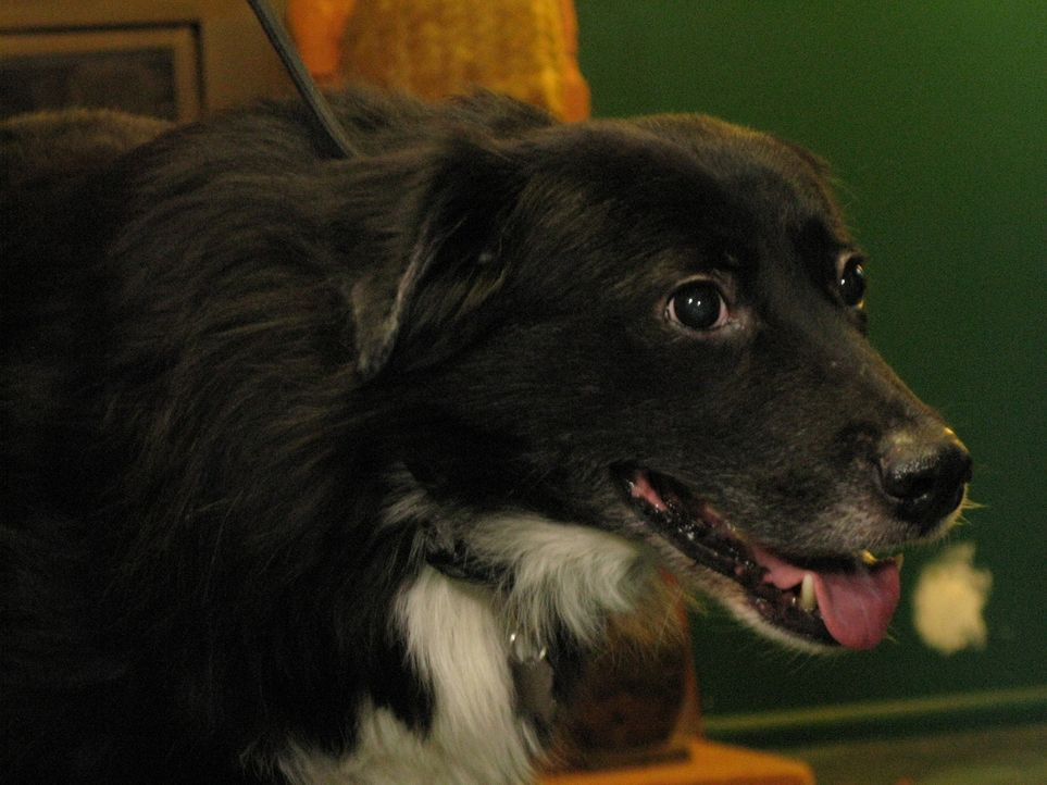 Rhonda und Rennie haben ihren Hund Dong Dong aus Taiwan mitgebracht. Der überaus ängstliche Border-Collie-Mischling macht seinen Besitzern große...