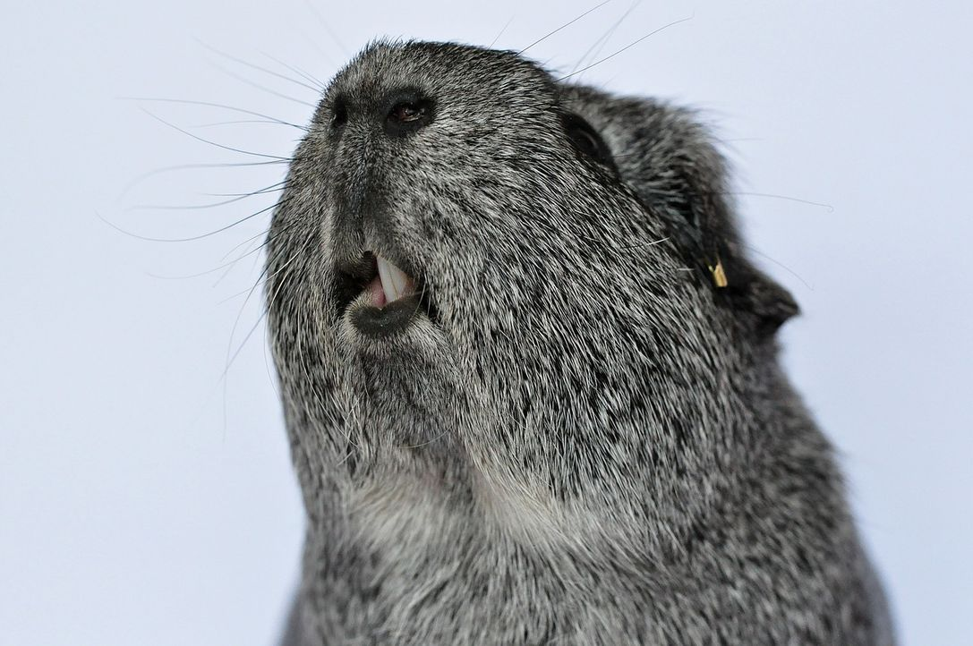 guinea-pig-500248_1280 - Bildquelle: Pixabay