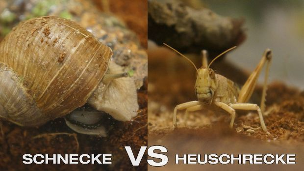 Das große Fressen - Schnecke vs. Heuschrecke