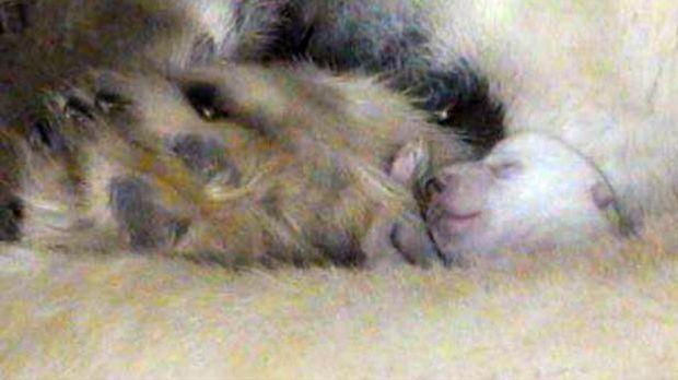 Eisbärin Giovanna im Mutterglück