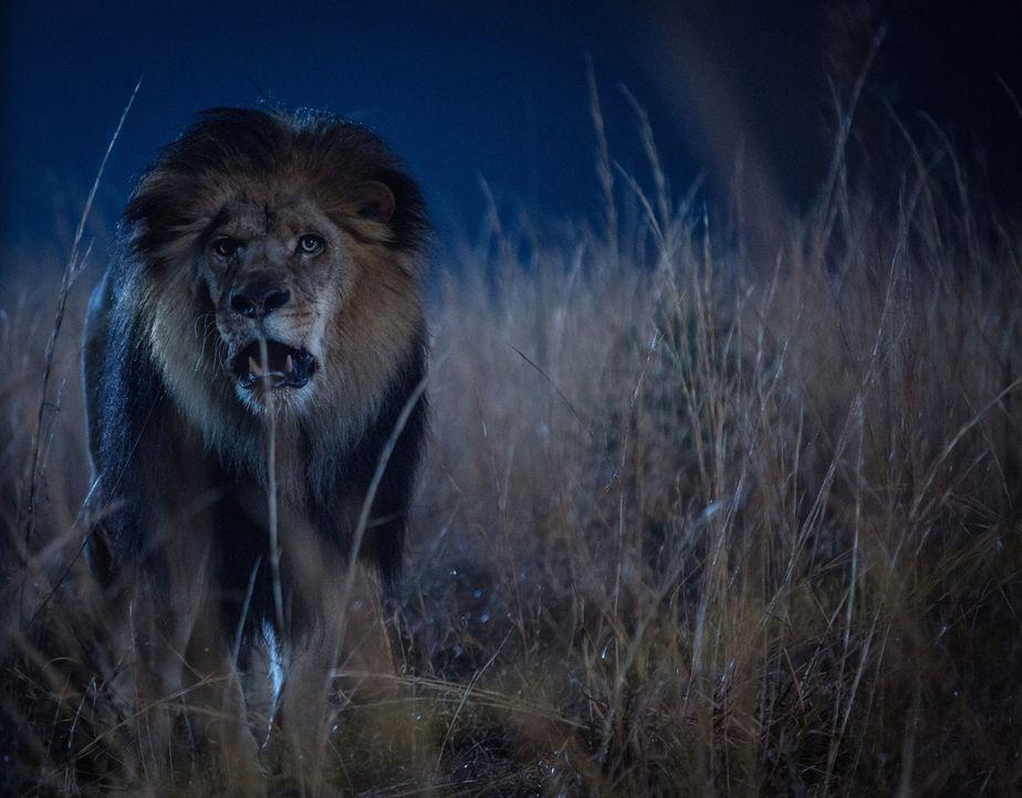 Nicht nur in der Wildnis werden die Säugetiere Menschen gegenüber immer aggressiver ... - Bildquelle: Steve Dietl 2015 CBS Broadcasting Inc. All Rights Reserved.