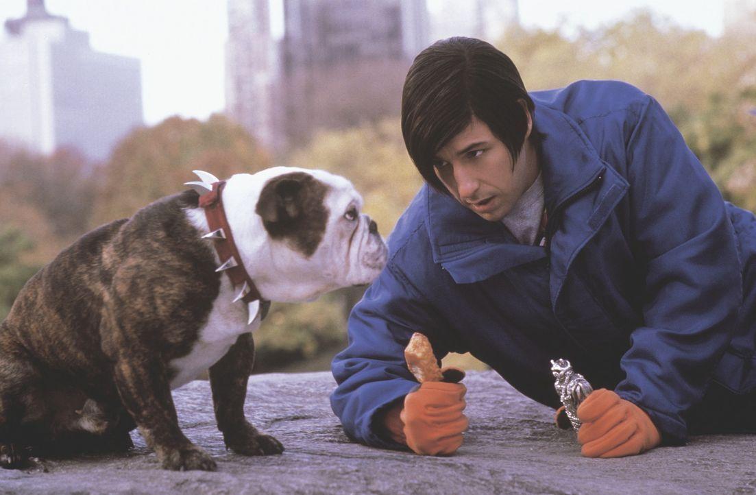Glücklicherweise gelingt es dem tumben Satansspross Little Nicky (Adam Sandler), gleich einen intelligenten Begleiter zu finden: die sprechende Bul... - Bildquelle: New Line Cinema