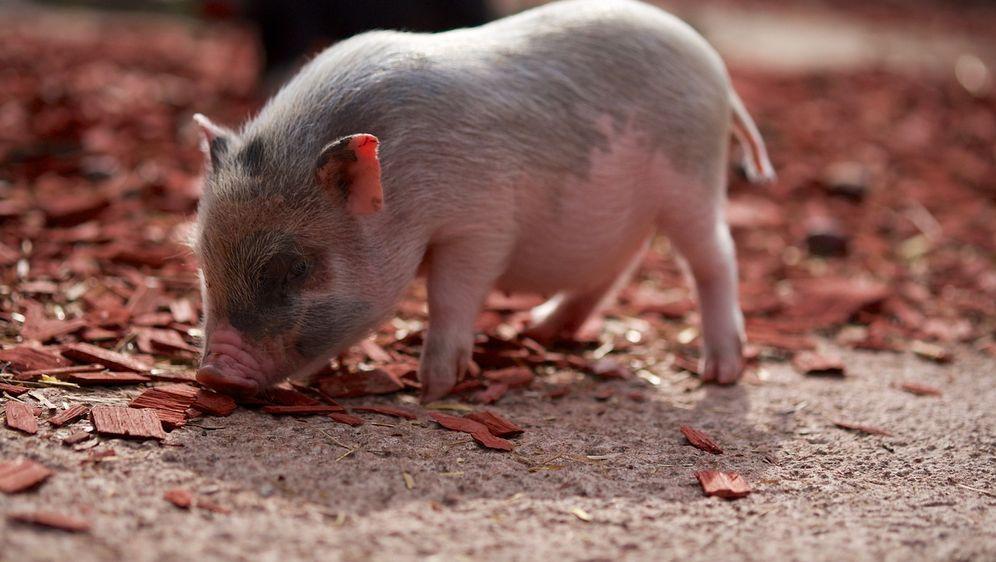 Schwein mit Herz aus Gold - Bildquelle: pixabay