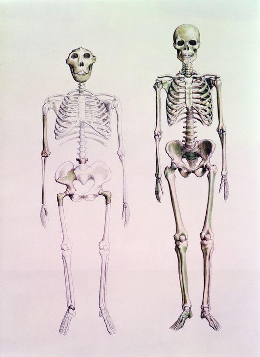 Die moderne Wissenschaft hat die Vorstellung widerlegt, dass die Neandertaler ursprünglichere Vorfahren der Menschen waren. DNA-Studien zeigen, dass... - Bildquelle: Bridgeman Images