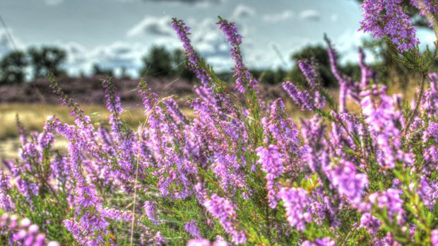 Heide-Sommerheide-Blühen-pixabay