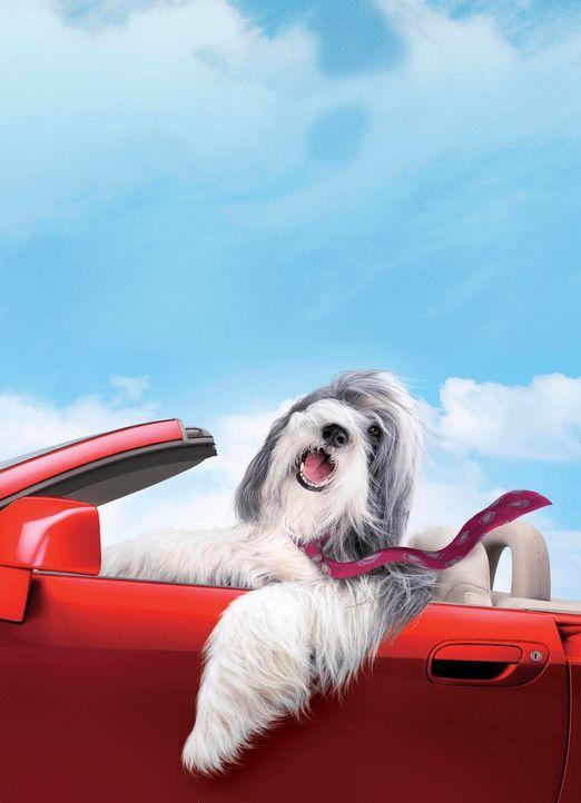 Durch einen Hundebiss verwandelt sich der Staranwalt Dave zeitweise in den Hund Shaggy und lernt aus diesem Blickwinkel nicht nur seine Familie rich... - Bildquelle: Disney Enterprises, Inc. All rights reserved