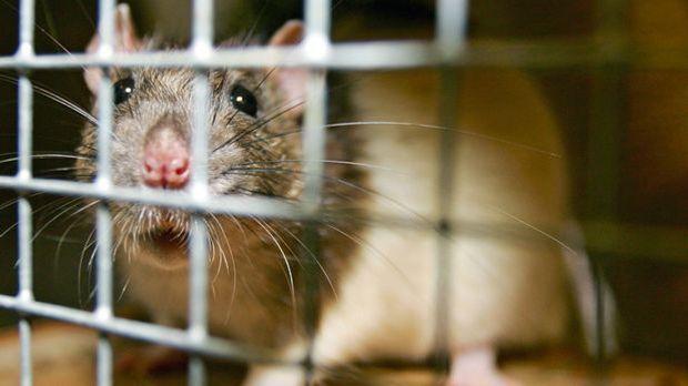 Ratten_dpa