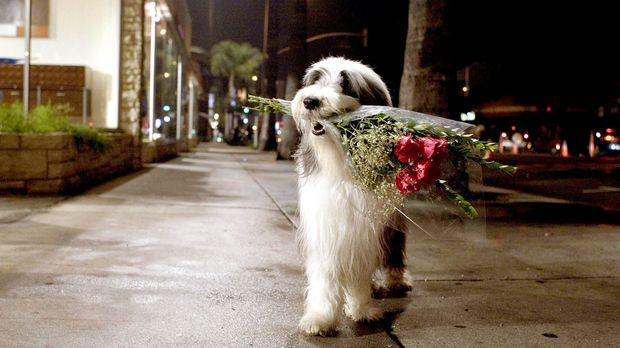Shaggy Dog - Hör mal, wer da bellt - Blumen für seine Frau - doch wird Rebecc...