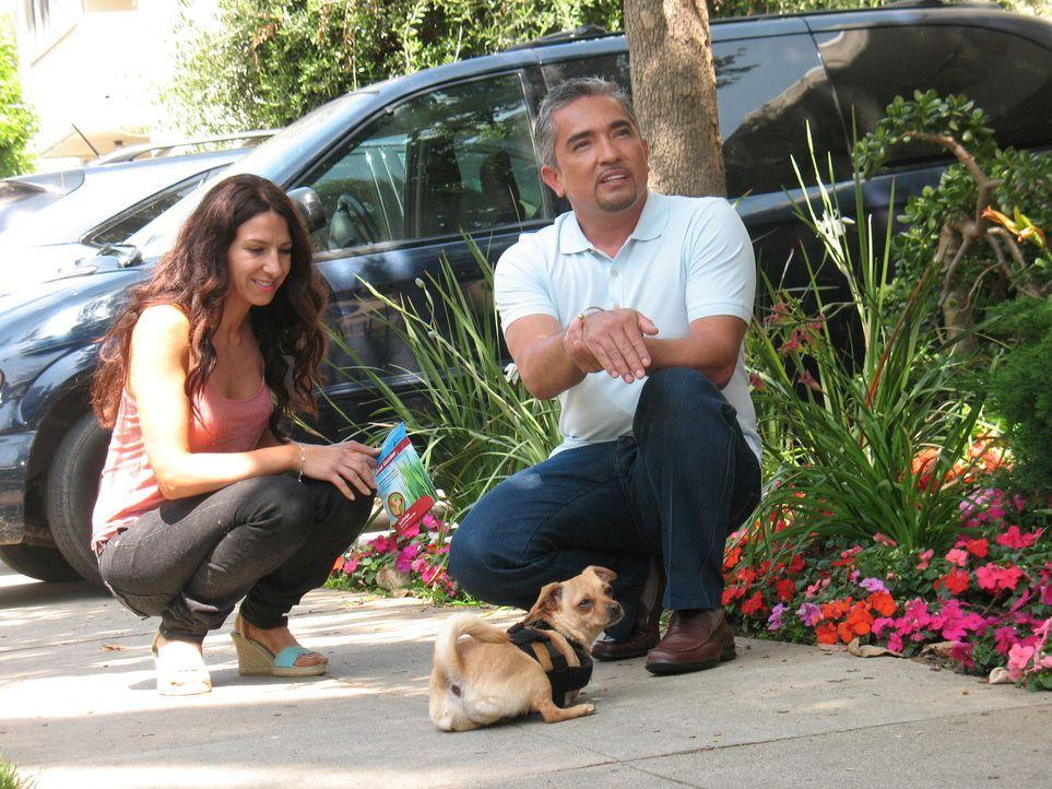 Bei Chihuahua-Dame Binkey muss der Hundeflüsterer Cesar Millan (r.) mit jeder Menge Einfühlungsvermögen ans Werk gehen, denn Binkey wurde ohne Vorde... - Bildquelle: Rive Gauche Intern. Television