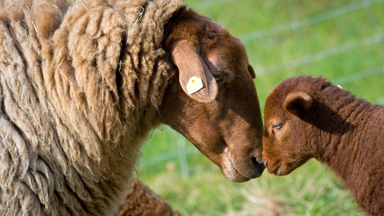 Lamm6 - Bildquelle: dpa