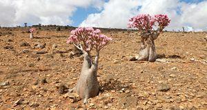 Ihr dicker Stamm lässt die Wüstenrose in ihrer Wildform wie einen Mini-Baum w...