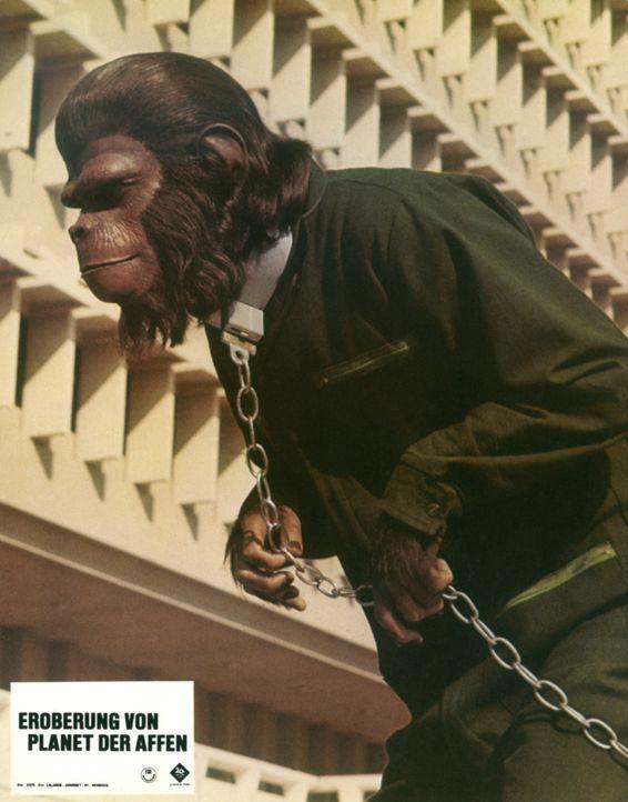 Eroberung vom Planet der Affen - Bildquelle: Twentieth Century-Fox Film Corporation