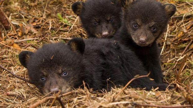 Noch leben die drei Bärenjungen Sam, Sophie und Sybil behutsam unter dem Schu...
