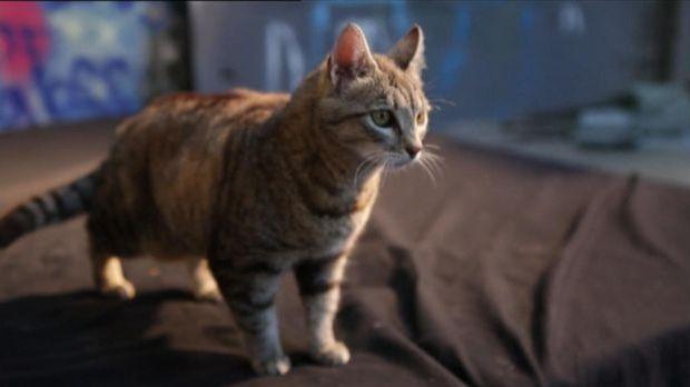 Warum landen Katzen immer auf Pfoten?