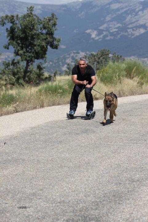 Cesar ist sich sicher: Mit dem richtigen Training und einem durchsetzungsfähigen Herrchen könnte Mojo die beste Zeit seines Lebens verbringen ... - Bildquelle: Belén Ruiz Lanzas 360 Powwow, LLC / Belén Ruiz Lanzas