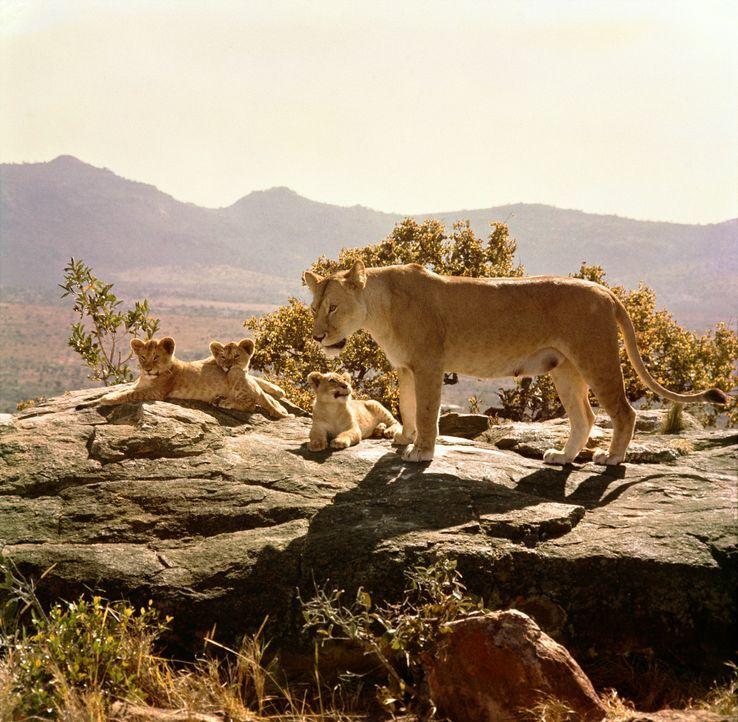 Wildhüter George Adamson zieht zusammen mit seiner Frau Joy drei Löwenbabys mit der Flasche groß. Nach und nach jedoch sehen sie die Notwendigkeit e... - Bildquelle: 1965, renewed 1993 Columbia Pictures Industries, Inc. All Rights Reserved.