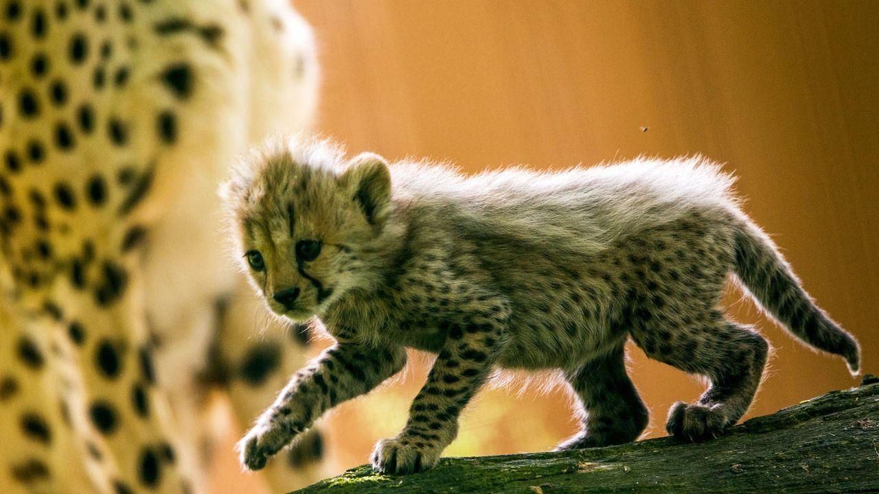 Gepard - Bildquelle: dpa