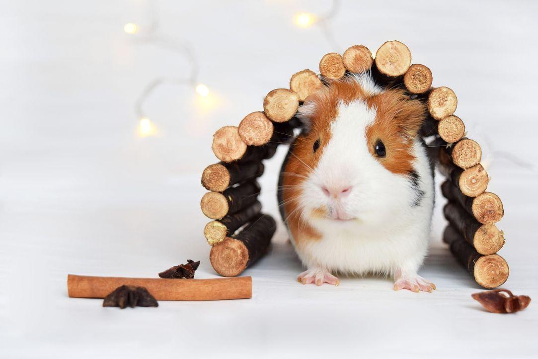 guinea-pig-1803362_1920 - Bildquelle: Pixabay
