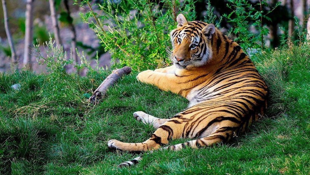 Tiger brauchen Abenteuer - Bildquelle: pixabay