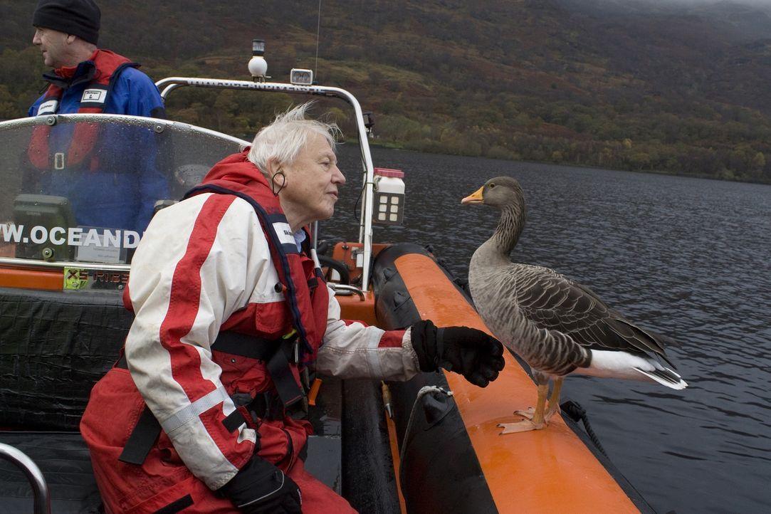 Der preisgekrönte Tierfilmer Sir David Attenborough reist nach Schottland, um - wie einst Verhaltensforscher Lorenz - die Graugänse genau unter die... - Bildquelle: Mary Lou Aitchison Mary Lou Aitchiso