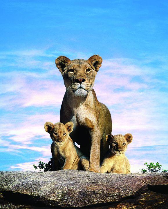 Unter den wachsamen Augen ihrer Mutter Macheeba (M.) wachsen die beiden Löwenkinder Suki (l.) und Linus (r.) an dem Ufer eines Flusses in der afrik... - Bildquelle: BBC 2004