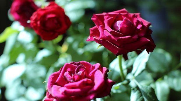 rosen pflanzen anleitung und tipps sat 1 ratgeber. Black Bedroom Furniture Sets. Home Design Ideas