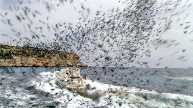 Auf der schönen Balearen-Insel Mallorca attackieren aggressive Bienenschwärme...