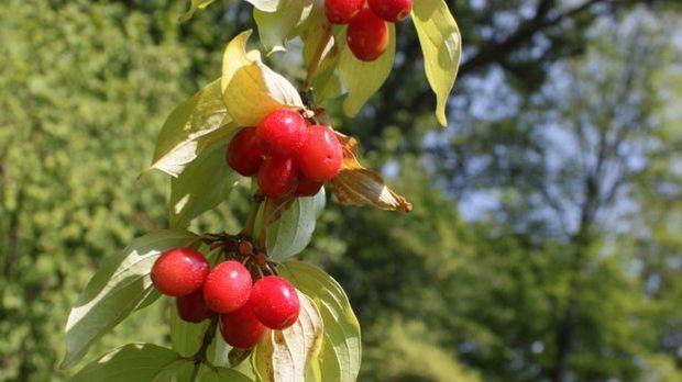 Kornelkirsche-Kirsche-Pflanze-pixabay