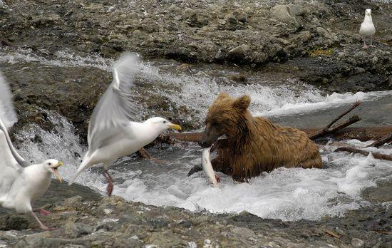Fressen und gefressen werden: Der Grizzlybär angelt sich einen Lachs zum Früh...