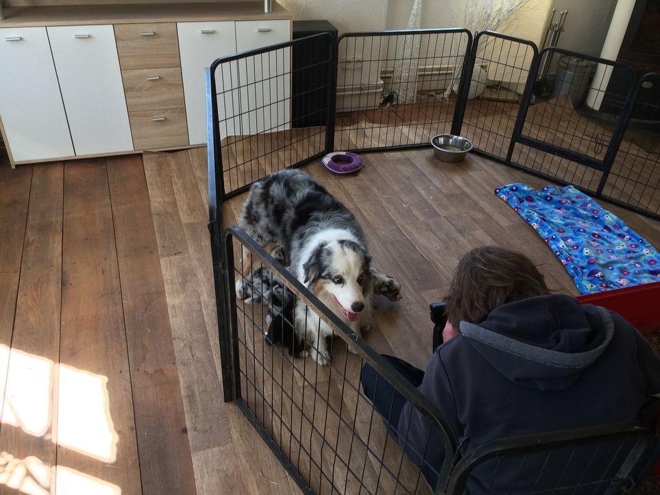 Wird sich Familie Zieglerski für einen Australian Shepherd Welpen entscheiden? - Bildquelle: SAT.1