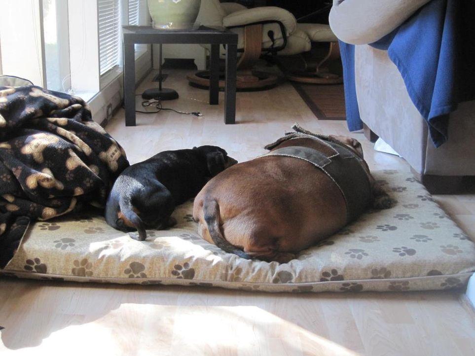 Obie: chillig - Bildquelle: Obie Dog Journey; https://www.facebook.com/BiggestLoserDoxieEdition?sk=photos_albums