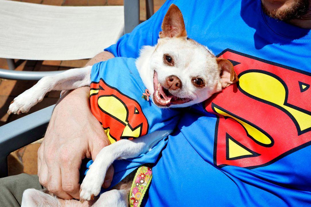 Superman-Chihuahua - Bildquelle: getty-AFP