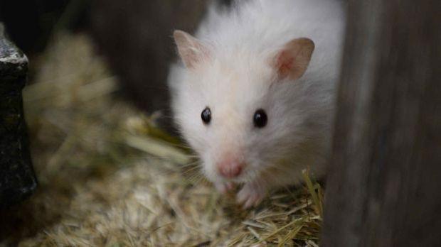 hamster-01