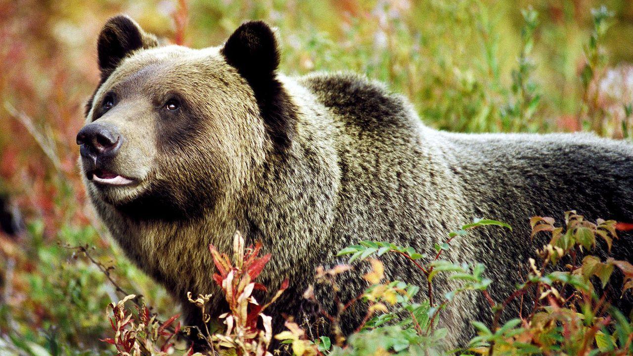 Grizzlybär - Bildquelle: dpa