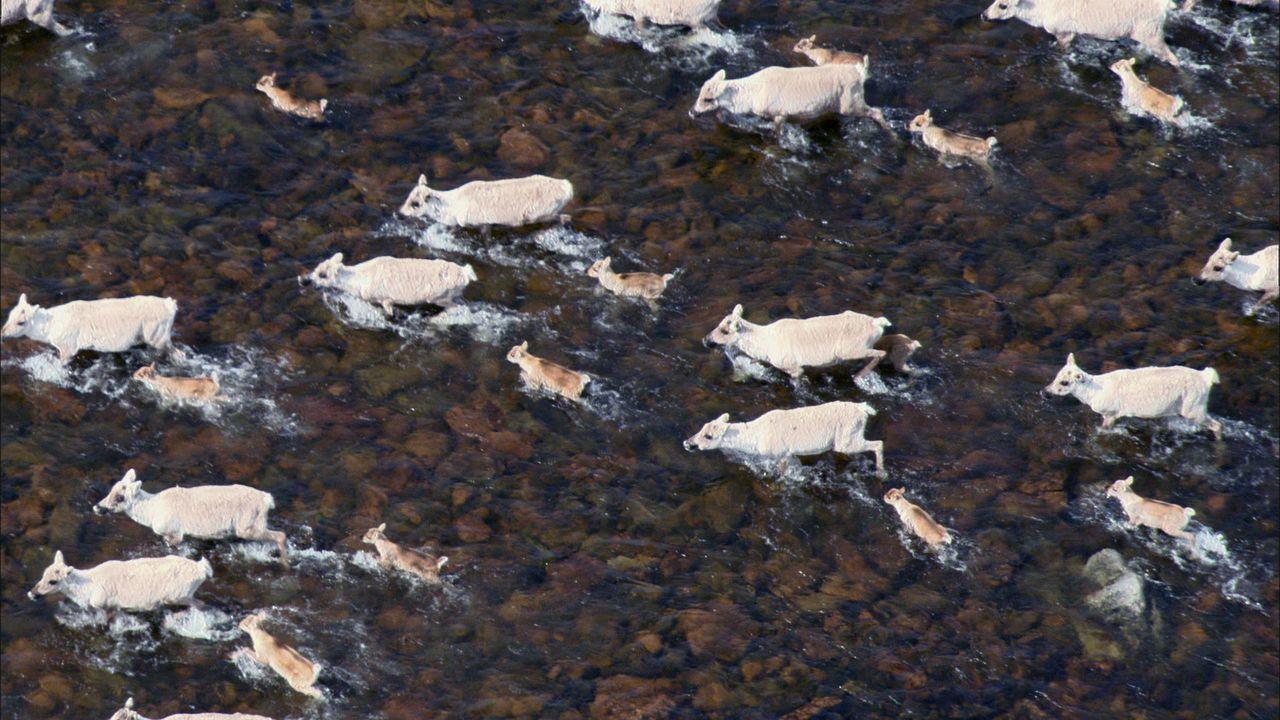 Auf Nahrungssuche zu Wasser und zu Lande: In der Tundra finden Massenwanderungen von 100000en von Karibus statt ... - Bildquelle: Earth   BBC Worldwide Ltd 2007