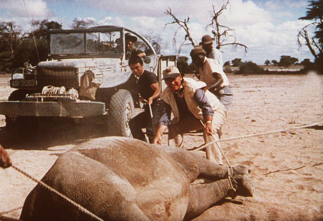 Der Großwildjäger Sean (John Wayne, 2.v.l.) hat zusammen mit seinen Kollegen der Großtier-Fangstation von Tanganjika ein Elefantenbaby eingefangen .... - Bildquelle: Paramount Pictures