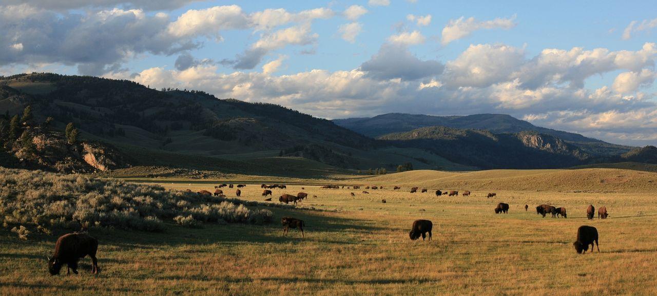 Der Yellowstone Nationalpark ist geprägt vom Wechsel der Extreme. Im Sommer, der nur wenige Wochen dauert, verwandelt sich in kürzester Zeit die eis... - Bildquelle: Paul D. Stewart 2008 BBC