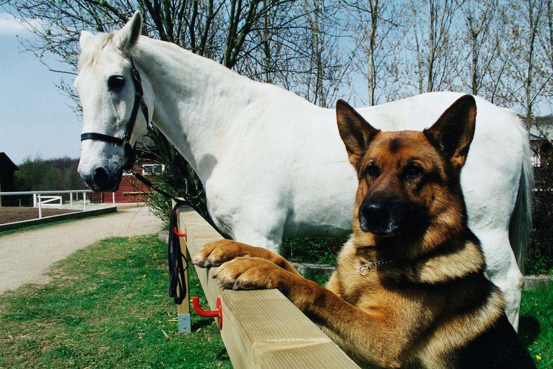 Ein Typ zum Pferdestehlen: Rex hat sich in ein Pferd verliebt... Der Schimmel steht auf dem Reiterhof von Frau Sikora, deren Mann tot aufgefunden wu... - Bildquelle: Sat.1