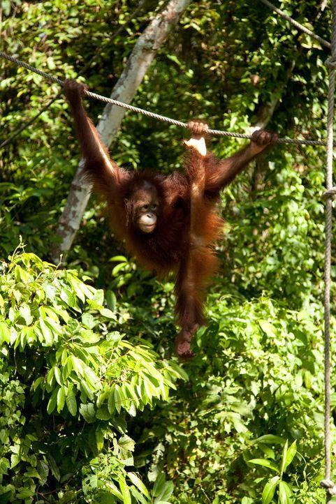 Affenstark: Tierfilmer Sir David Attenborough reist seit 60 Jahren um die Welt und filmt Wilddtiere wie den jungen Orang Utan im Sepilok Rehabilitat... - Bildquelle: Gavin Thurston Gavin Thurston