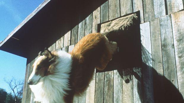 Unbeirrbar in seiner unerschütterlichen Treue riskiert der Hund Lassie immer...